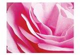 Rose Nahbereich 2 Art Print
