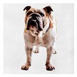 Yearning Bulldog Art Print