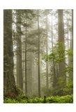 North Coast Redwoods Art Print
