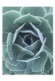 Succulent With Dew 1 Art Print