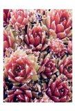 Red Succulents New Born 1 Art Print