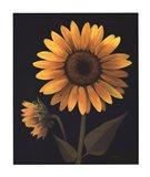 Sunflower II Art Print