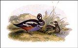 Ducks-2 of 8 Art Print