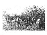 Cutting Sugar Cane in the South Art Print