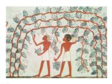 Picking grapes, from the Tomb of Nakht Art Print