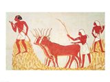 Using cows to trample wheat, from the Tomb of Menna Art Print
