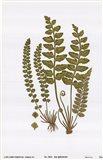 Sea Spleenwort Art Print