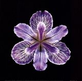 Tiger Iris Art Print