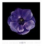 Poppy Anemone Art Print