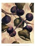 Italian Harvest - Figs Art Print