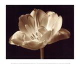 Champagne Tulip III Art Print