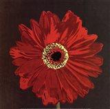 Midnight Gerbera III Art Print