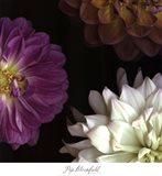 Purple Dahlia II Art Print