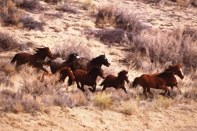 Mustang Horses Running, Wyoming Art Print by Unknown