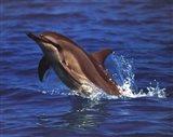 Dolphin - photo Art Print