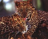 Leopards Art Print