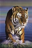 Tiger In Water Art Print