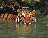 Tiger - water Art Print