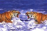 Bengal Tigers Roaring Art Print