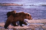 Brown Bear Carrying Cub, Alaska Art Print