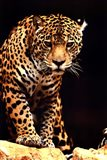 Leopard - photo Art Print