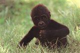 Gorilla Baby Art Print