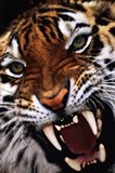 Bengal Tiger Close-Up Art Print