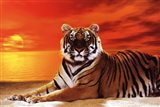 Tiger - sunset Art Print