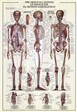 Skeletal System Art Print