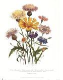Centaurea Crocadylium Art Print