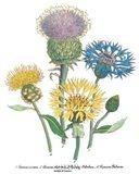Centaurea Montana Art Print