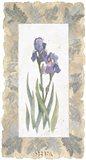Emperor Iris Art Print