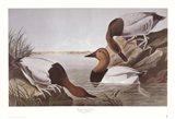 Canvasback Duck Art Print