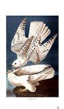 Iceland or Ier Falcon Art Print