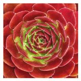 Fuzzy Red Succulent Art Print