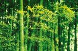 Bamboo in Spring Art Print