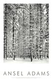 Pine Forest In The Snow, Yosemite Nation Art Print