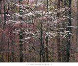 Pink and White Dogwoods, Kentucky Art Print