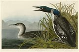 Great Northern Diver or Loon Art Print