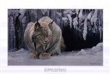 Dozing Lynx (detail) Art Print