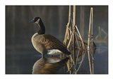 Greet the Sun - Canada Goose Art Print