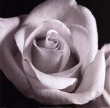 Open Rose Art Print