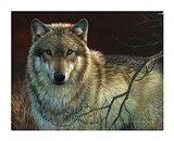Uninterrupted Stare- Gray Wolf Art Print