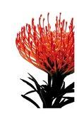 Orange Protea 1 Art Print