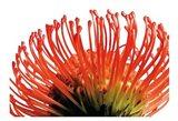 Orange Protea 2 Art Print
