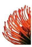 Orange Protea 4 Art Print