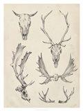 Skull & Antler Study II Art Print