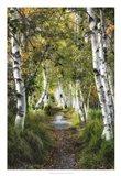 Birch Path I Art Print