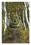 Birch Path II Art Print