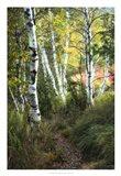 Birch Path III Art Print